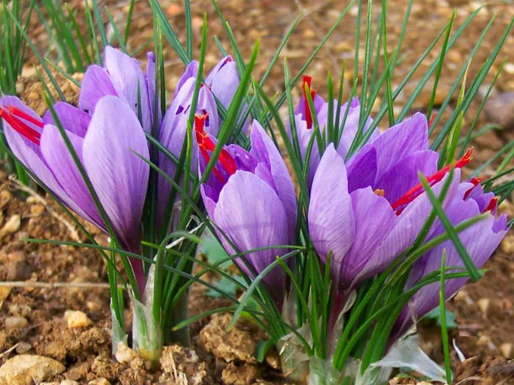صادرات عصاره زعفران قاینات به اسپانیا