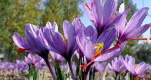 عصاره گلبرگ زعفران