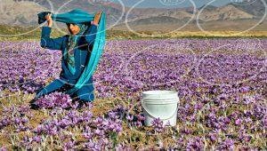 قیمت زعفران 3 گرمی بهرامن برای توزیع