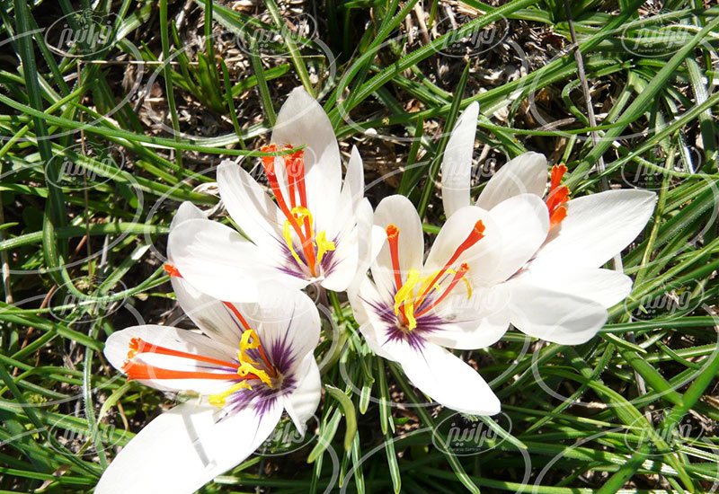 صادرات زعفران قائنات پودری اصل و اعلا