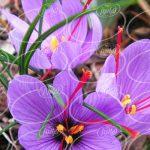 تولید افشانه زعفران با بهترین کیفیت