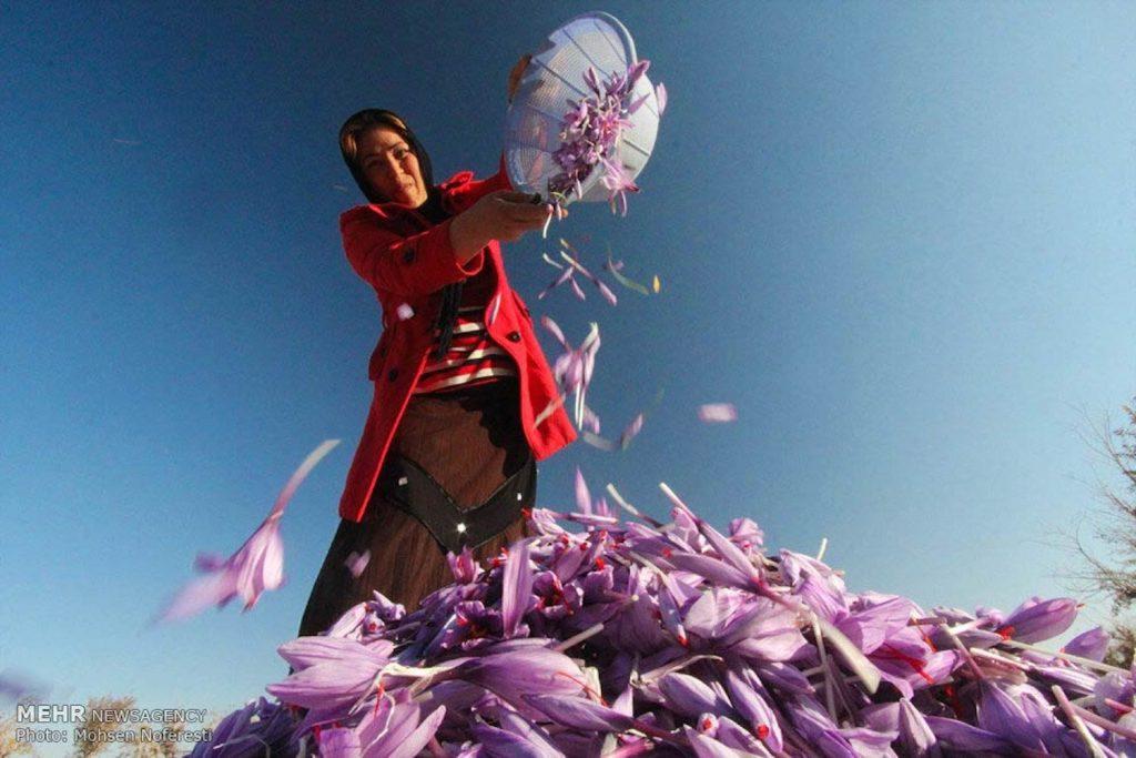 عرضه پودر رنگ زعفران مصطفوی