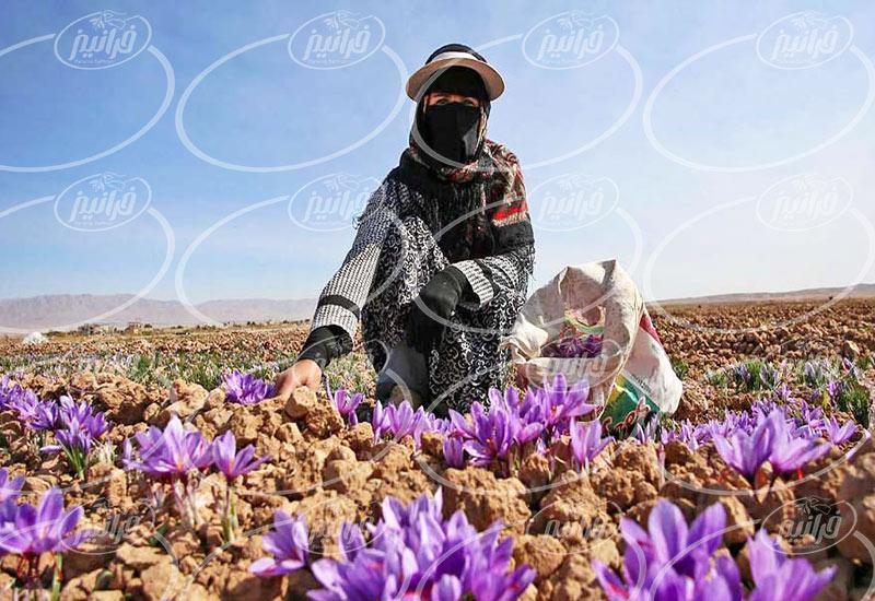 خرید زعفران 10 مثقالی مستقیم از کارخانه