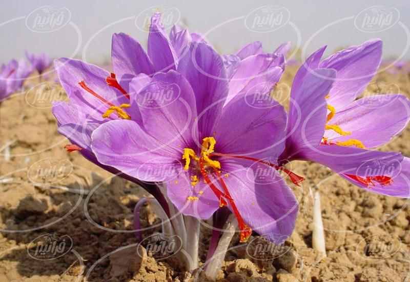 خریداری زعفران مثقالی توسط تاجران ماهر