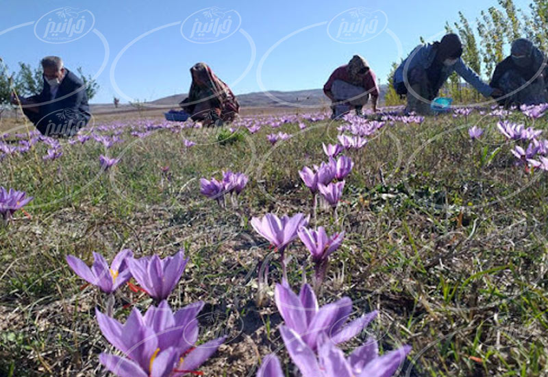 مدیران پخش زعفران در مشهد