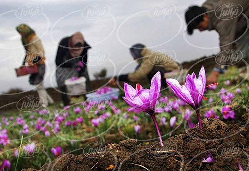 صادر کردن بهترین پودر زعفران به خارج