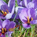 راه و روش عرضه عمده زعفران پرسود